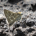 Reticulated Skipper - Photo (c) irene-w, some rights reserved (CC BY-NC)