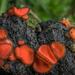 Scutellinia - Photo (c) Alan Rockefeller, algunos derechos reservados (CC BY)