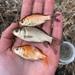 Kultakala - Photo (c) Jackson, osa oikeuksista pidätetään (CC BY-NC)