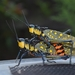 Spotted Locust - Photo (c) Hari Purwanto, some rights reserved (CC BY-NC)