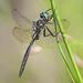 Somatochlora minor - Photo (c) Denis Doucet, μερικά δικαιώματα διατηρούνται (CC BY-NC)