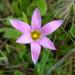 Romulea rosea - Photo (c) Don Loarie, algunos derechos reservados (CC BY)