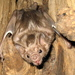 Vampire Bats - Photo (c) Original uploader was Gcarter2 at en.wikipedia, some rights reserved (CC BY-SA)