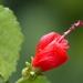 Malvaviscus arboreus - Photo (c) Nature Ali,  זכויות יוצרים חלקיות (CC BY-NC-ND)
