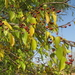 Small Jujube - Photo (c) Ton Rulkens, some rights reserved (CC BY-SA)