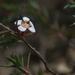 Euryomyrtus ramosissima prostrata - Photo (c) Lorraine Phelan, some rights reserved (CC BY-NC)
