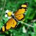 Acraea serena - Photo (c) James Steamer, algunos derechos reservados (CC BY-NC)