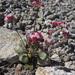 Eriogonum pyrolifolium pyrolifolium - Photo (c) Todd Ramsden, μερικά δικαιώματα διατηρούνται (CC BY-NC)