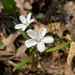 Claytonia virginica - Photo (c) beautifulcataya,  זכויות יוצרים חלקיות (CC BY-NC-ND)