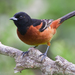 Orchard Oriole - Photo (c) Dan Pancamo, some rights reserved (CC BY-SA)