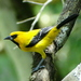 Yellow Oriole - Photo (c) barloventomagico, some rights reserved (CC BY-NC-ND)