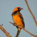 Spot-breasted Oriole - Photo (c) Len Blumin, some rights reserved (CC BY-NC-ND)