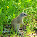 Holarctic Ground Squirrels and Chipmunks - Photo (c) susanelliott, some rights reserved (CC BY-NC), uploaded by Susan Elliott