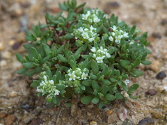 Small Poranthera - Photo (c) Lorraine Phelan, some rights reserved (CC BY-NC)