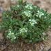 Poranthera microphylla - Photo (c) Lorraine Phelan, algunos derechos reservados (CC BY-NC)