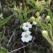 Chamaebatia australis - Photo (c) smfang, algunos derechos reservados (CC BY-NC)