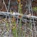Schizaea bifida - Photo (c) Bill Campbell, osa oikeuksista pidätetään (CC BY-NC)