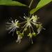 Capparis sepiaria - Photo (c) Dinesh Valke,  זכויות יוצרים חלקיות (CC BY-NC-ND)