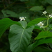 Holarrhena pubescens - Photo (c) Dinesh Valke, algunos derechos reservados (CC BY-NC-SA)