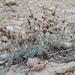 Limonium roridum - Photo (c) Stavros Apostolou, algunos derechos reservados (CC BY-NC)