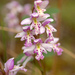 Small Round-leaved Orchid - Photo (c) susanelliott, some rights reserved (CC BY-NC), uploaded by Susan Elliott