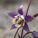 Small-flower Columbine - Photo (c) susanelliott, some rights reserved (CC BY-NC), uploaded by Susan Elliott