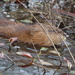 Eastern Muskrat - Photo (c) Luca Catanzaro, some rights reserved (CC BY-NC)