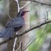Tangara Pecho Rosa - Photo (c) Ken Chamberlain, algunos derechos reservados (CC BY-NC)
