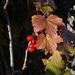 Ribes glabellum - Photo (c) Игорь Поспелов, osa oikeuksista pidätetään (CC BY-NC)