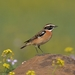 Whinchat - Photo (c) mourad-harzallah, some rights reserved (CC BY-NC)