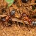 Formica sanguinea - Photo (c) raedwulf68, μερικά δικαιώματα διατηρούνται (CC BY-NC)