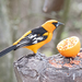 New World Orioles - Photo (c) Susan Elliott, some rights reserved (CC BY-NC)