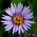 Eurybia sibirica - Photo (c) susanelliott, alguns direitos reservados (CC BY-NC), uploaded by Susan Elliott
