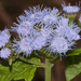 Flor de Niebla - Photo (c) Danny Barron, algunos derechos reservados (CC BY-NC-ND)
