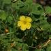 Oxalis californica - Photo (c) James Bailey, alguns direitos reservados (CC BY-NC)