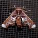 Eutelia pulcherrimus - Photo (c) Laura Gaudette, algunos derechos reservados (CC BY)