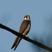 Eleonora's Falcon - Photo (c) Nabok, some rights reserved (CC BY-NC-SA)