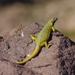 Phymaturus loboi - Photo (c) charif_tala, μερικά δικαιώματα διατηρούνται (CC BY-NC)