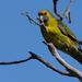Perico de Tasmania - Photo (c) jsatler, algunos derechos reservados (CC BY-NC)