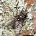 Egle ciliata - Photo (c) Marina Gorbunova, algunos derechos reservados (CC BY-NC)