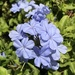 Blue Plumbago - Photo (c) mcragun19, some rights reserved (CC BY-NC)