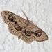Problepsis ocellata - Photo (c) Vojtek Pavel, algunos derechos reservados (CC BY-NC)