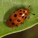 Mycotretus geminus - Photo (c) Karl Kroeker, some rights reserved (CC BY-NC)