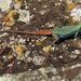 Platysaurus orientalis - Photo (c) Joachim Louis, osa oikeuksista pidätetään (CC BY-NC-ND)