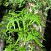 Lygodium japonicum - Photo (c) Shipher (士緯) Wu (吳), algunos derechos reservados (CC BY-NC-SA)