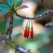 Agapetes hosseana - Photo (c) Luis Stevens, algunos derechos reservados (CC BY-NC)