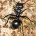 Giant Turtle Ant - Photo (c) Tom Murray, some rights reserved (CC BY-NC)