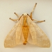Banded Tussock Moth - Photo (c) Jenn Forman Orth, some rights reserved (CC BY-NC-SA)