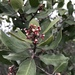 Rhus integrifolia × ovata - Photo (c) smfang,  זכויות יוצרים חלקיות (CC BY-NC)
