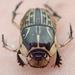 Oniticellus pictus - Photo (c) Wilderness Safaris Botswana - Conservation Team,  זכויות יוצרים חלקיות (CC BY)